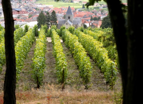 Vines in Le Mesnil-sur-Oger