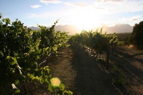 Vines at Nelson Wine Estate