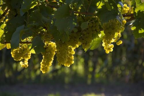 grapes-1758134_640