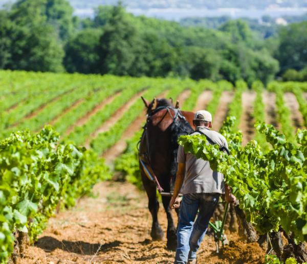 Vineyards at Chateau la Tour de l'Eveque Provence
