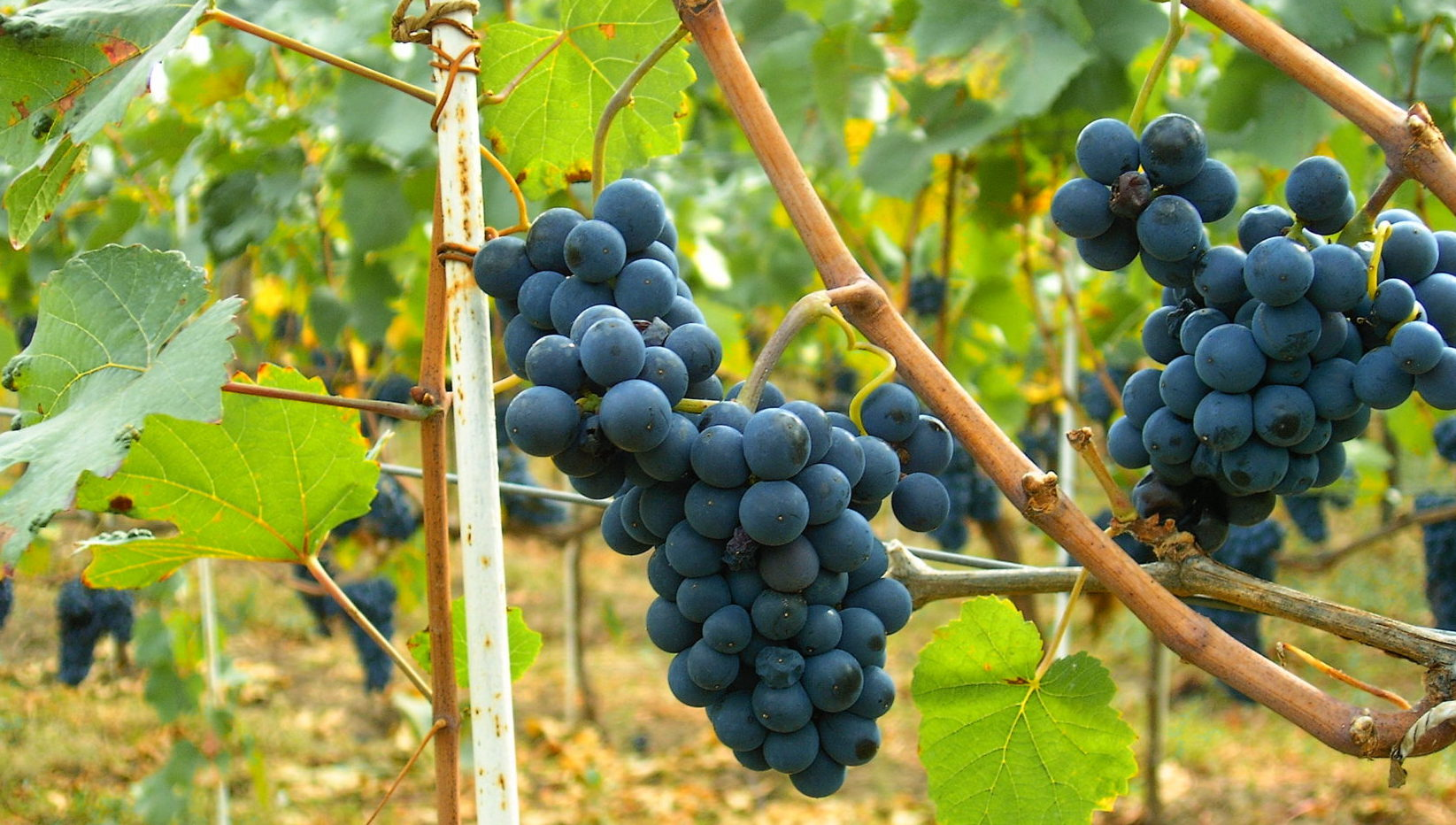 Pinot Noir: The temperamental traveller